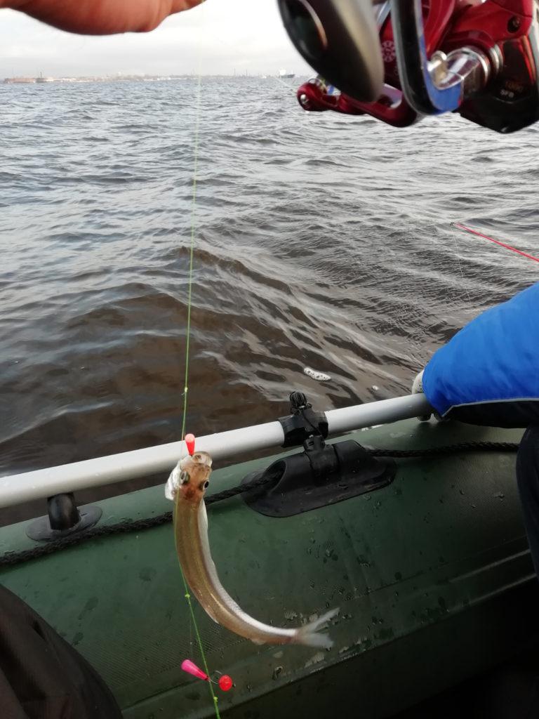 Корюшка пойманная на мормышку с лодки на финском заливе