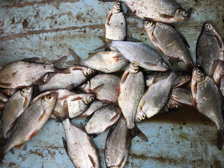 плотва и густера пойманная на Ладожском озере на дне лодки